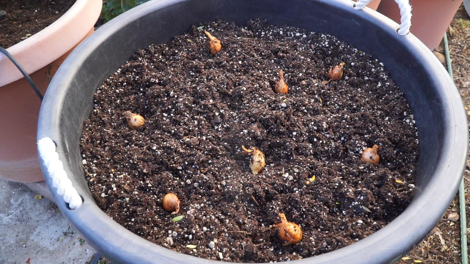California Gardening: Growing Shallots in Containers