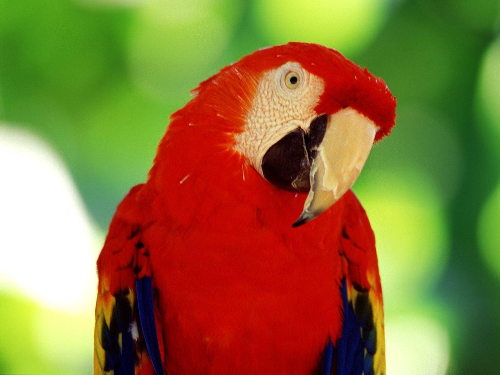 parrots wallpaper bird - photo #13