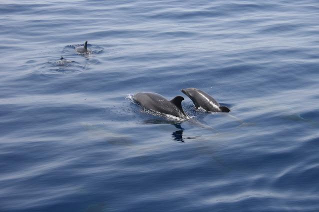 Großer Tümmler - Tursiops truncatus © Canarian Sea 02