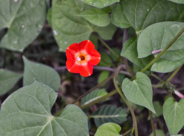small red morning glory, wildflower, http://growingdays.blogspot.com