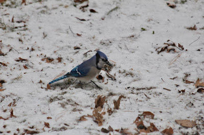 a blue jay agains the snow