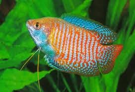 Jenis Jenis Ikan Hias Gurami