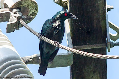 Aplonis panayensis - Asian Glossy Starling