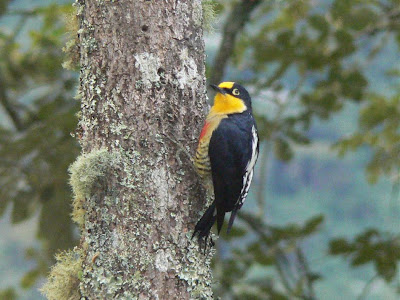 Yellow fronted Woodpecker