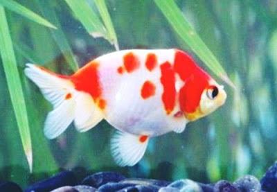 Gambar Ikan Mas Koki Sakura