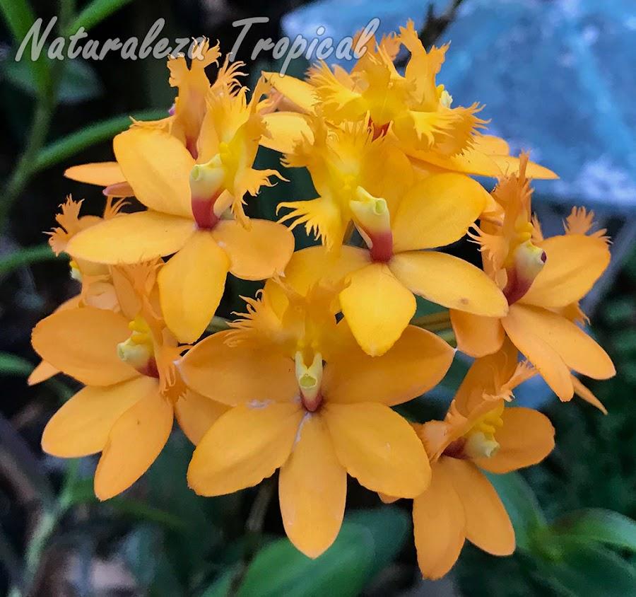 Posible híbrido de la orquídea Epidendrum radicans. De esta especie existen numeroso cultivares donde se observa mucha variación en la coloración de las flores