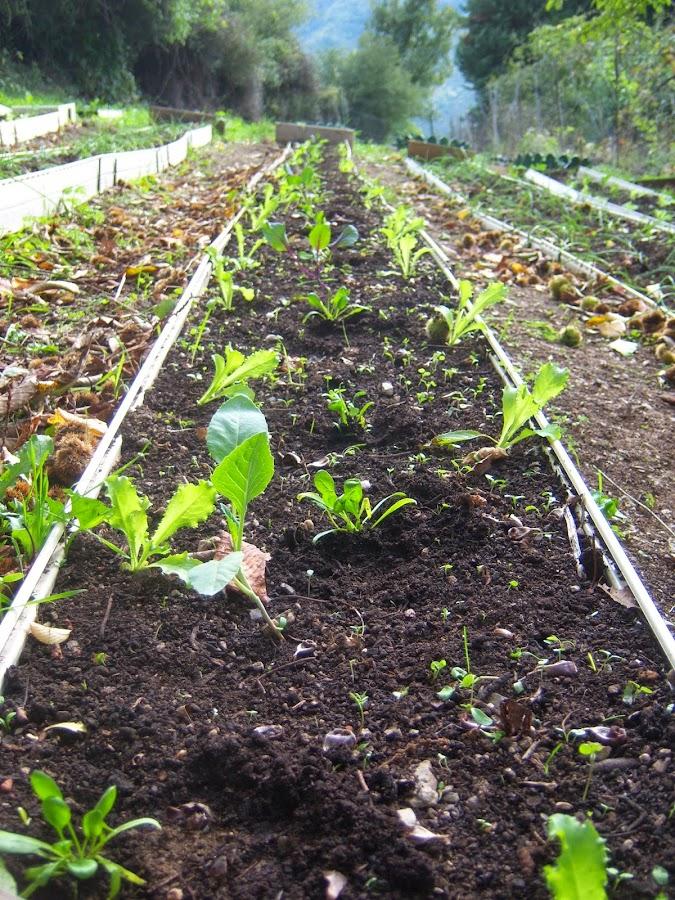 Trasplantamos las plantas a su emplazamiento definitivo asociandolas entre sí. Por ejemplo: coles, espinacas y escarolas rizadas
