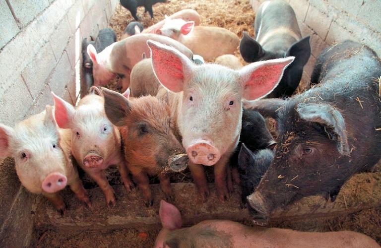 Ανησυχία στους κτηνοτρόφους για την είσοδο της αφρικανικής πανώλης των χοίρων στην Ελλάδα