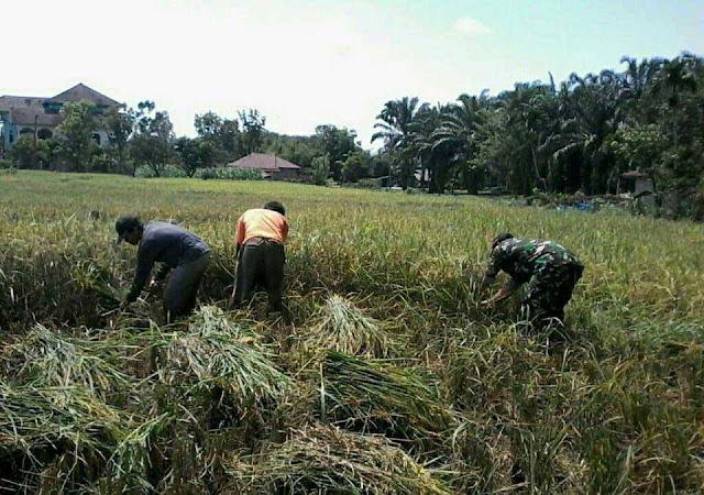 Babinsa Siap Mendampingi Petani dari Pengolahan Lahan Sampai Panen, Kata Sertu Erwin Nasution
