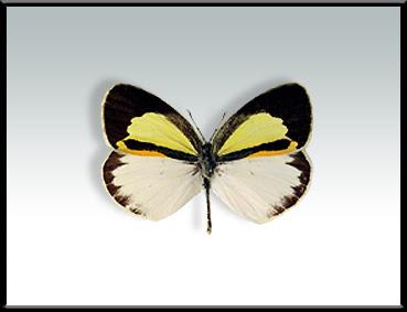 Mariposa limoncito Eurema elathea