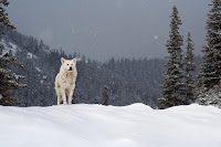 The Cherokee 2 Wolves (Legend) :: All Pretty Things