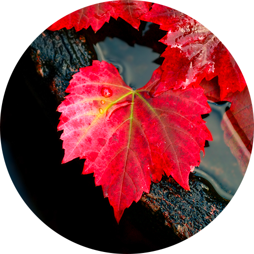 Risultati immagini per vite rossa capillari fragili