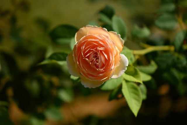 Crown Princess Margareta rose, English rose, david austin rose, desert, hot climate, small sunny garden