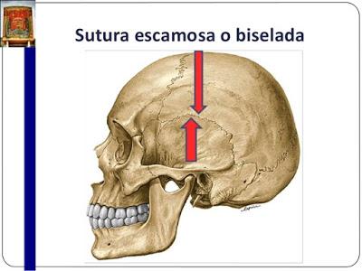 Laboratorio Anatomia P.F : Practico 2 Generalidades de Artrologia ...