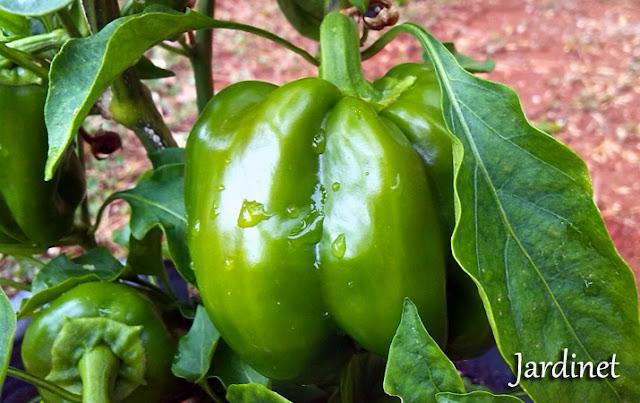 Como cultivar pimentão em vasos