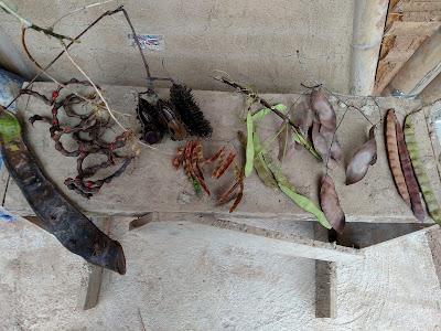 semillas: guama, pichoco, ojo de buey, trupillo, mataratón, cedrelinga y ???