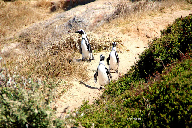 Three penguins walking in a group on a sand path between bushes
