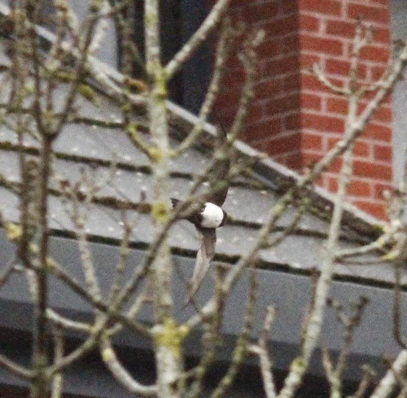 Robs Birding Blog: Swift Alpine Swift Twitch         In Crawley