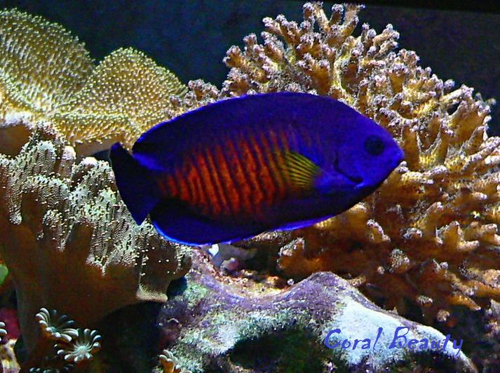 Coral Beauty - Ikan Hias Tercantik di Dunia - Alam Mentari