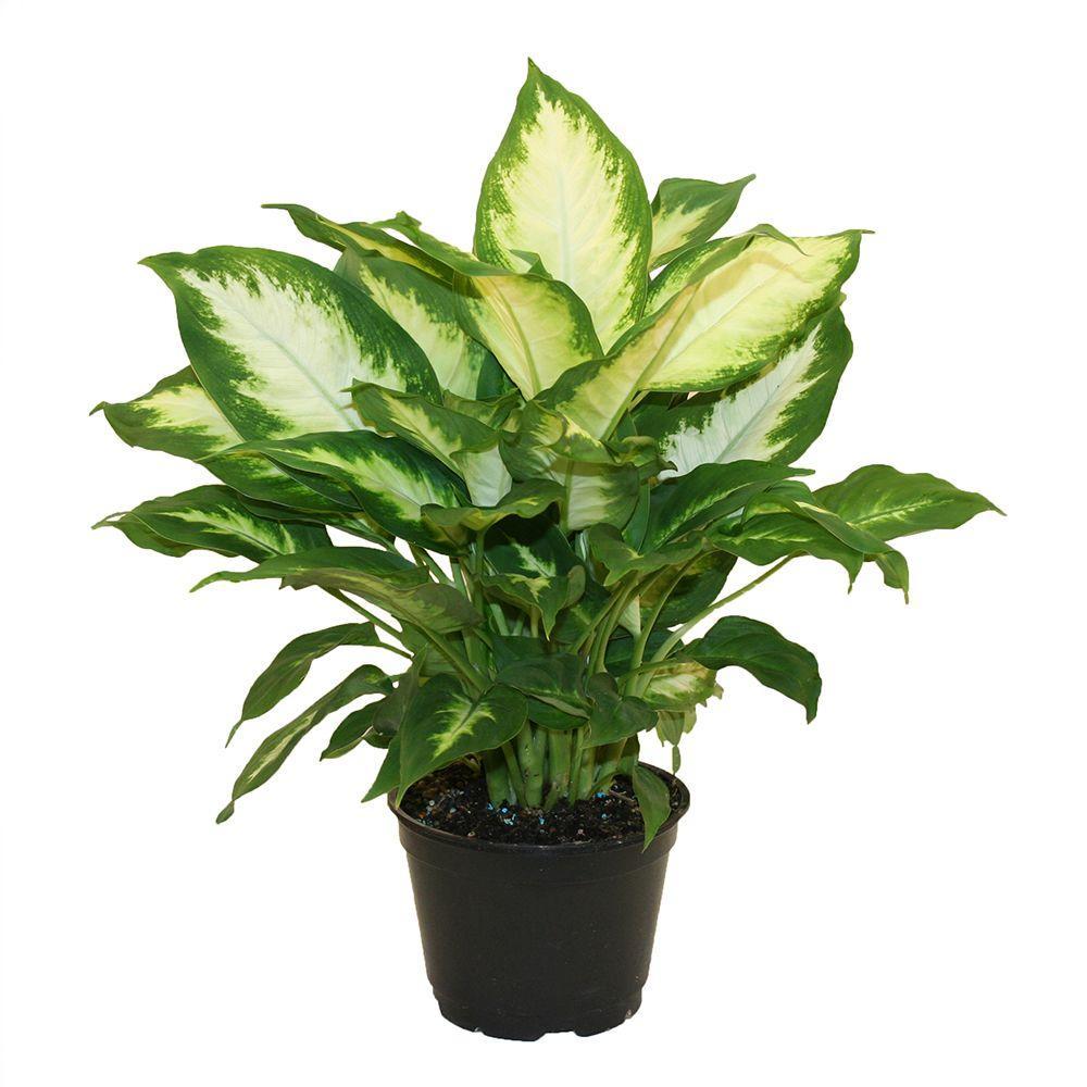 Indoor%2BPlant%2B-%2Bffenbachia Polypodiaceae House Plant on peperomia house plant, monstera deliciosa house plant, philodendron house plant, fern house plant, spanish moss house plant,