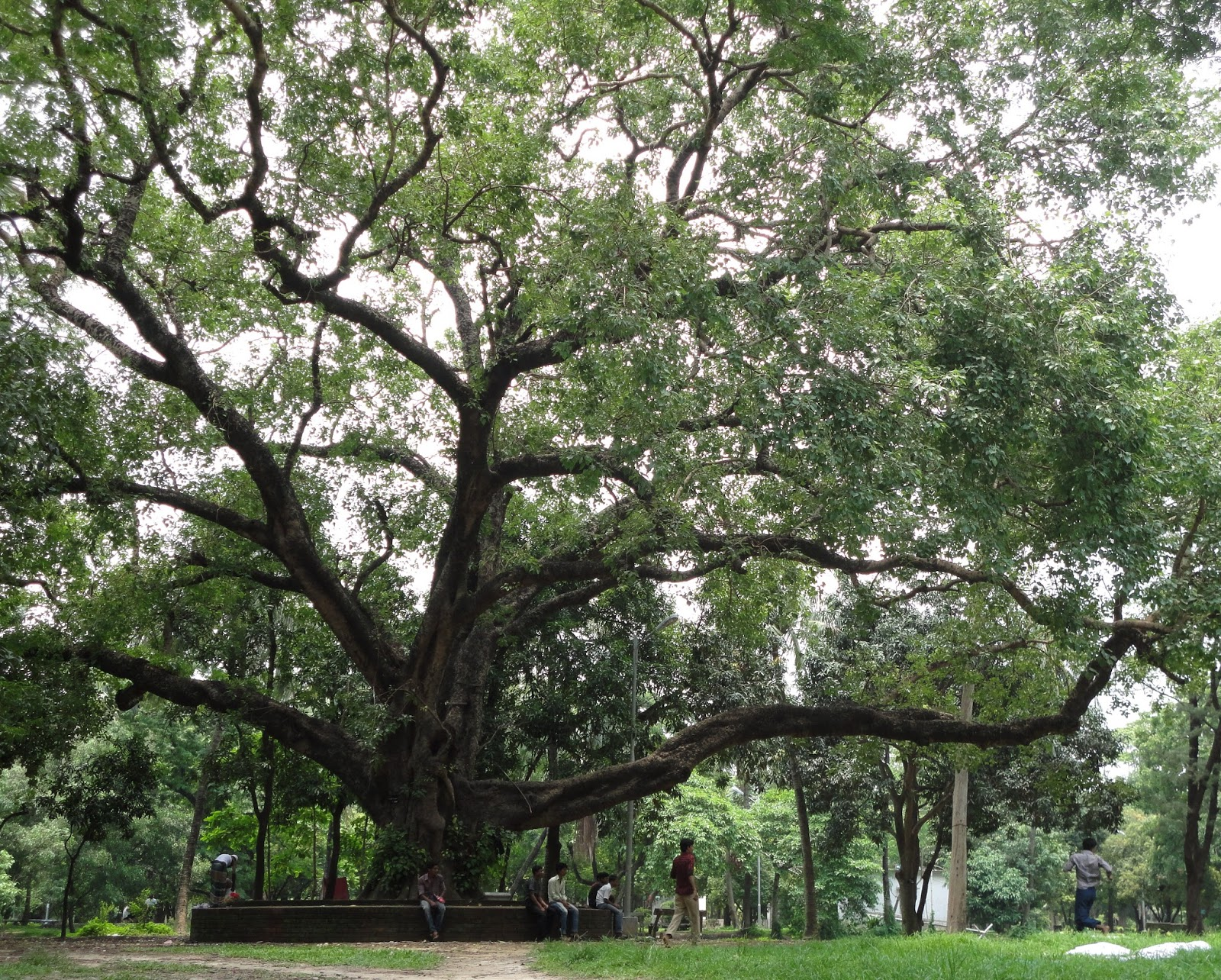 Ashoth, Bodhi Tree, Ficus Religiosa