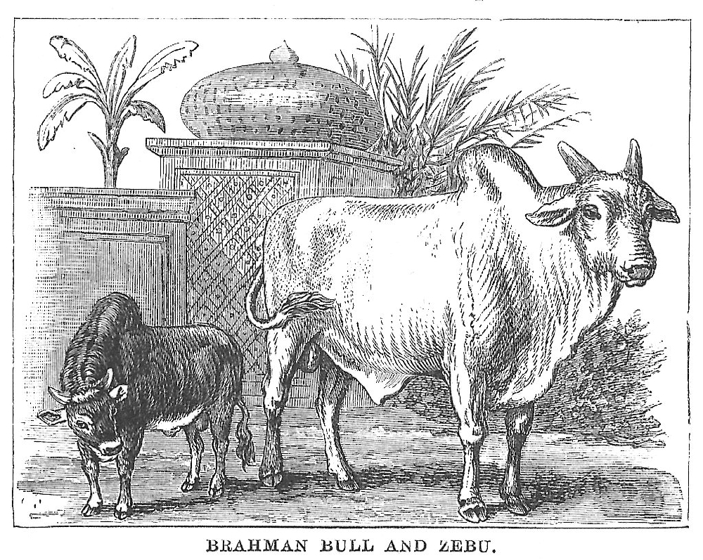 Brahman Bull Drawings And Coloring Bull Gallery
