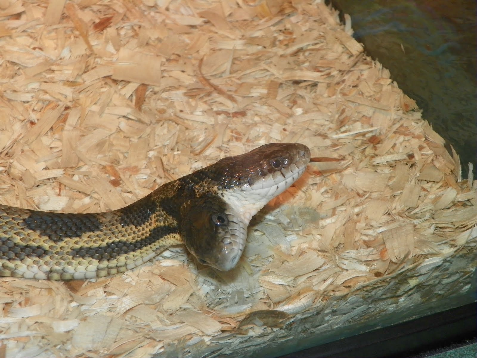 5 Headed Snake - Bing images - photo#5