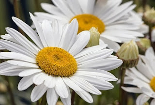 bunga-aster23