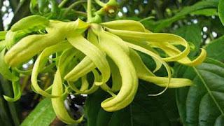 bunga kenanga putih, nama lain bunga kenanga, mitos bunga kenanga, efek samping bunga kenanga, pohon bunga kenanga, manfaat bunga kenanga untuk keputihan, manfaat bunga kenanga atasi berbagai penyakit, manfaat bunga kenanga untuk wajah, manfaat bunga kenanga untuk wajah, bunga obat kanker payudara