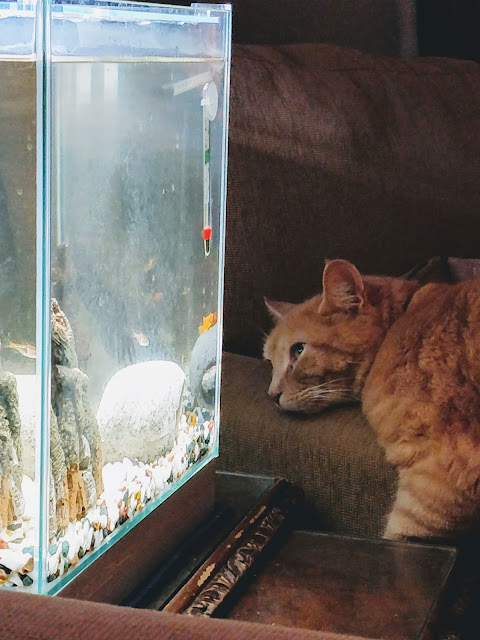 cat watches tropical fish