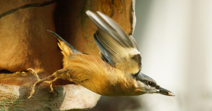 vögel im flug kleiber beim starten  nuthatch on starting