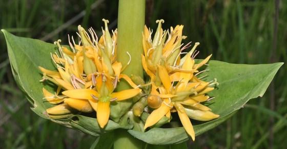 biljka lincura lekovita svojstva