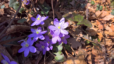 Hepatica nobilis on trail 533.