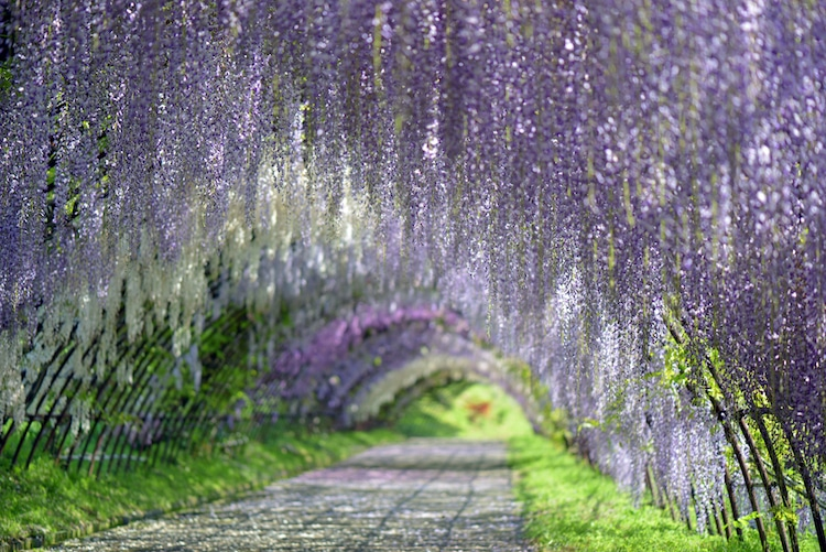 Mesmerizing Pictures Of Japan's Enchanting Wisteria Tree Tunnels
