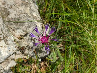 [Asteraceae] Cyanus triumfetti – Squarerose Knapweed (Centaurea di Trionfetti)