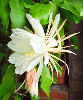Como cuidar o Cacto Dama da noite - (Epiphyllum oxypetalum)