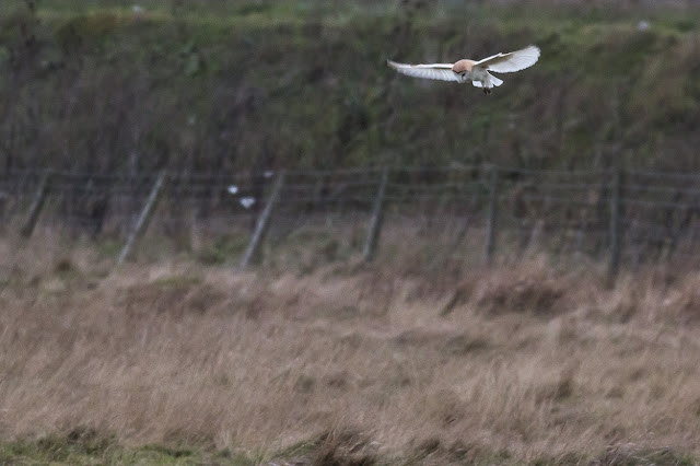 Another of the Barn Owl, hovering