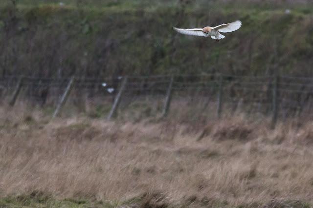 Barn Owl Hunting