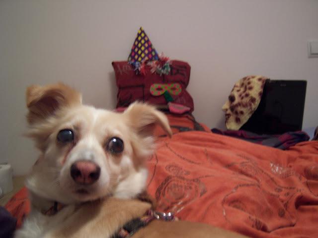 Perro con glaucoma sin operar