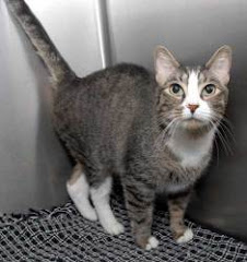 8/27/12 VIDEO Adoptable Cat Tiger New Haven, CT Animal Shelter |-#673 Sanchez