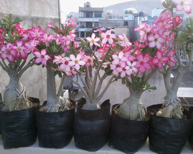 Adenium Wholesale India