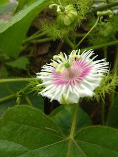 Bunga tanaman rambutan cina tampak samping