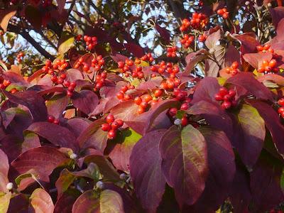 寝屋川公園 紅葉ウォーキング 秋のハナミズキの実