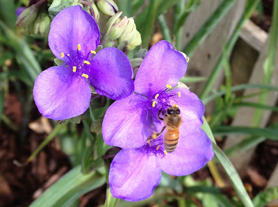 bee, beekeeping, bloom, foraging, privet, spiderwort, tulip poplar,
