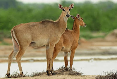 Nilgai - Animals starting with N