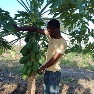 pawpaw farming in kenya