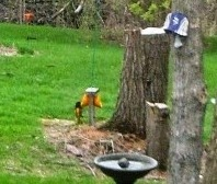 orioles eating on feeder
