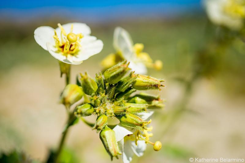 Brown-Eyed Evening Primrose Southern California Anza-Borrego Desert Wildflowers