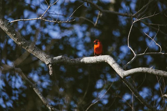 florida male cardinal