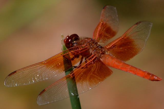big red dragonfly